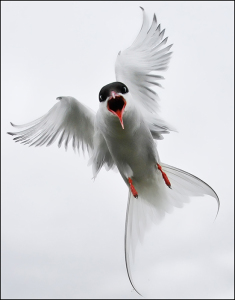 Attacking Tern