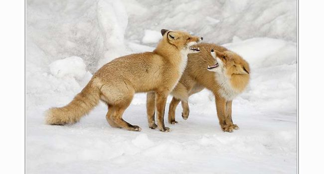 Red fox pair on snow bank
