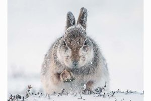 "Best PDI ""Snow Hare Scrambling For Food"" by Rosamund McFarlane Keswick PS"
