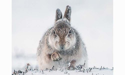 "winning Digital Image by Rosamond McFarlane  Keswick PS with ""Snow Hare Scrambling for Food"""