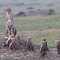 Cheetah with 6 Cubs-Pat Kearton-Northallerton-2