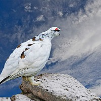Ptarmigan Calling-John Webster-Northallerton-2