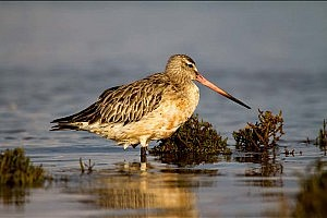 """Bartailed Godwit"" by Clive Bew Workington CC"