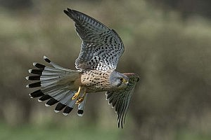 """Flying Kestrel"" by Carol Minks"