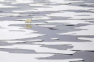 """Polar Bear on Ice"" by Keith Snell Keswick PS"
