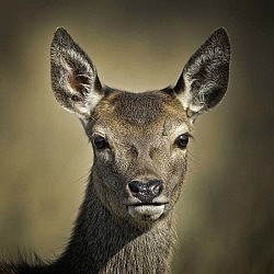 """Red Deer Hind"" by John McGuinness"