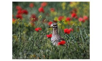 118 Stone Curlew in Poppies- Ronnie Gilbert- PSA Ribbon