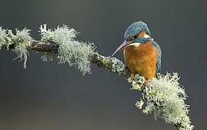 Alcedo at his fishing