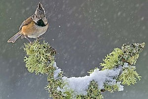 Best Image in Inter-Club PDI Comp - Crested Tit in Snow Storm - John Webster - NCC