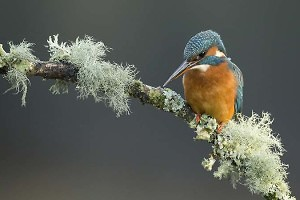 """Alcedo at his fishing"" by Michael Watson"
