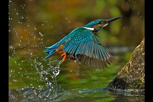 """Kingfisher"" by Albert Nicholson"