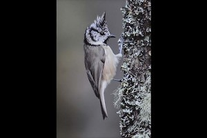 """""""Crested Tit"""" by  Morgan Stephenson"""