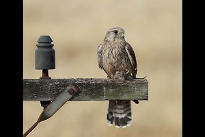 """Kestrel with Mouse"" by Jo McIntyre"