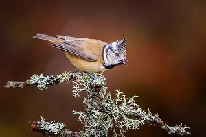 """Crested Tit Calling"" by Chris Morton"
