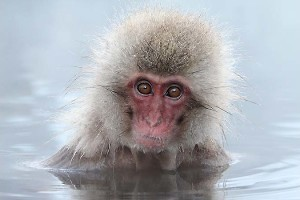 """Japanese Macaque"" by Pat Kearton"