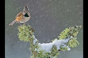"""Crested Tit in Snow' by John Webster"