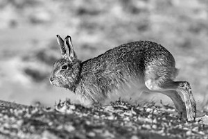 """Mountain Hare"" by Miles Langthorne"