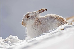 """White Mountain Hare"" by Miles Langthorne"