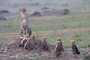 """Cheetah with 6 cubs"" by Pat Kearton"