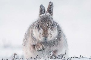 """Snow Hare scrabbling for food"" by Rosamund Macfarlane Keswick PS"