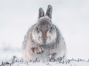 """Snow Hare scrabbling for food"" by Rosamund Macfarlane from Keswick Photographic Society"