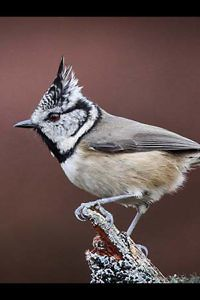 """""""Crested Tit"""" by john Fare"""