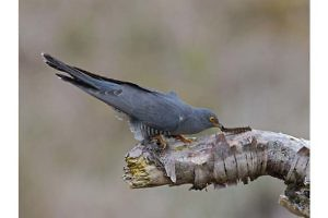 """""""The Cuckoo and Caterpillar"""" by Ronnie Gilbert"""