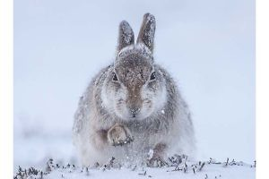 """Snow Hare Scrabbling For Food"" by Rosamund MacFarlane"