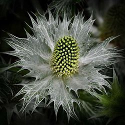 """Sea Holly"" by Sue Long"