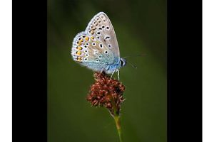 """Small Blue"" by Clive Bew"