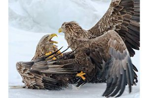 """White Tailed Eagles Fighting"" by Ronnie Gilbert Keswick PS"