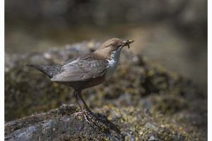 """Dipper with Insects"" by Carol Minks"