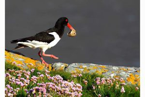 """Oystercatcher Clearing  an Egg shell"" by Tony Marsh"