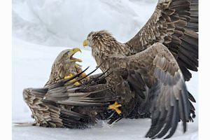 """White Tailed Eagles Fighting"" by Ronnie Gilbert"