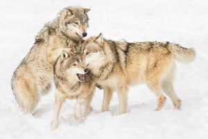 """Wolves at Play"" by Julie Walker"