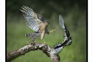 """Sparrowhawk and Jay Confrontation"" by Carol Minks"