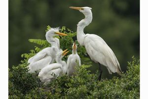 """Egret Family"" by Julie Walker"
