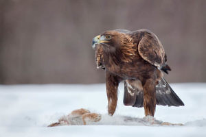 """Golden Eagle and Hare"" by Alan Walker"