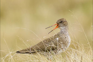 """Redshank Defending her Nest by Keith Snell"