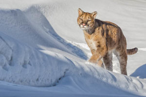 """Puma Stalking its Prey"" by Alan Walker Keswick PS"