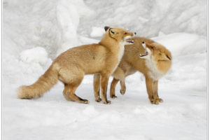"""Red Fox Pair on Snow Bank"" by John MacFarlane"