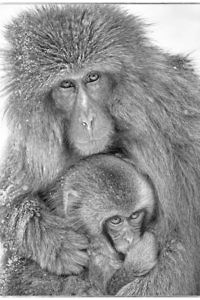 """Snow Monkey and Baby"" by John MacFarlane"
