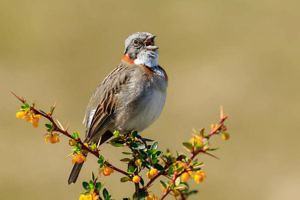 """""""Rufous Collared Sparrow"""" Tom Stenhouse"""