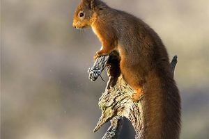 """""""Red Squirrel in Early Winter Light"""" Ronnie Gilbert"""