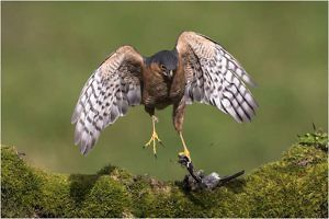 """""""Male Sparrowhawk with Prey"""" Ronnie Gilbert"""