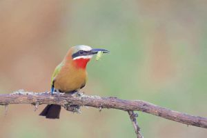 """""""White-fronted Bee Eater"""" Keith Snell"""